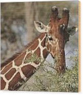 Reticulated Giraffe Feeding On Acacia Wood Print