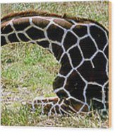 Reticulated Giraffe On Ground Wood Print