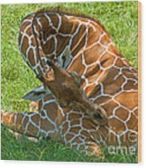 Reticulated Giraffe Sleeping Wood Print