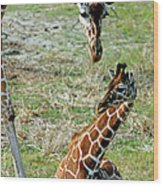 Reticulated Giraffe With Calf Wood Print