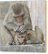 Rhesus Monkeys Grooming Wood Print
