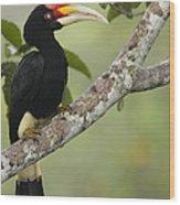 Rhinoceros Hornbill Female Sepilok Wood Print
