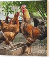 Rhode Island Red Chickens And Wooden Feeder  Wood Print