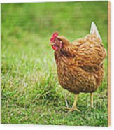 Rhode Island Red Chicken Wood Print