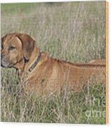 Rhodesian Ridgeback Dog Wood Print