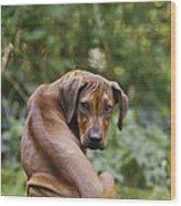 Rhodesian Ridgeback Puppy Wood Print