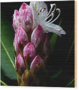 Rhododendron Begining Wood Print