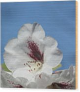 Rhododendron In White And Burgundy Wood Print
