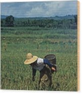 Rice Harvest In Southern China Wood Print