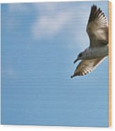 Ring Bill Gull Wood Print