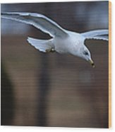 Ring-billed Gull Gliding Portraits 2 Wood Print