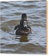 Ring Neck Duck Wood Print