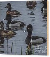 Ring-necked Ducks 6 Wood Print