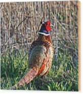 Ring-necked Pheasant Wood Print