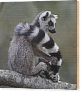 Ring-tailed Lemur Lemur Catta  Wood Print