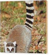 Ring-tailed Lemur Lemur Catta Walking Wood Print