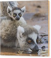 Ring-tailed Lemur Mother Drinking Wood Print