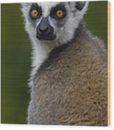 Ring-tailed Lemur Portrait Madagascar Wood Print