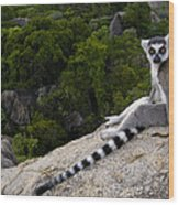 Ring-tailed Lemur Resting Madagascar Wood Print