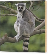 Ring-tailed Lemur Sitting Madagascar Wood Print