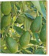 Ripe Avocado Fruits Growing On Tree As Crop Wood Print