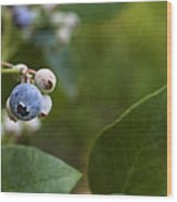 Ripening Blueberries Wood Print