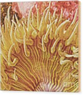 Rise And Shine Sea Anemone- Pictures Of Sea Creatures - Sea Anenome  Wood Print