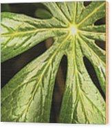 Rising Star The Mayapple Of Spring Wood Print