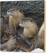 River Otter Trio   #0922 Wood Print