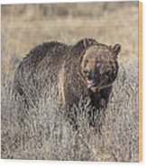 Roaring Grizzly Wood Print