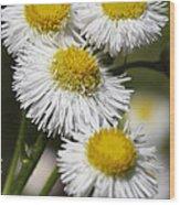Robin's Plantain Wildflowers - Erigeron Pulchellus Wood Print