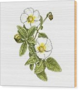 Rockrose (cistus Salvifolius), Artwork Wood Print