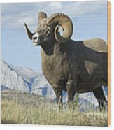 Rocky Mountain Big Horn Sheep Wood Print by Bob Christopher