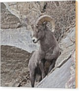 Rocky Mountain Big Horn Sheep Ram Wood Print