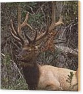 Rocky Mountain Bull Elk Wood Print