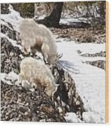 Rocky Mountain Goats - Mother And Baby Wood Print