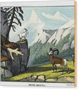 Rocky Mountain Sheep Wood Print