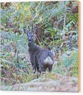 Roe Buck In Woodland Wood Print