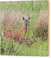 Roe Deer Capreolus Capreolus With Two Fawns Wood Print