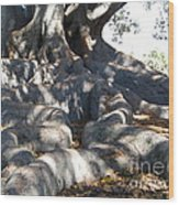 Roots Of Large Fig Tree Wood Print