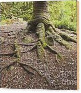 Roots Of Monkey Puzzle Tree Wood Print by Colin and Linda McKie