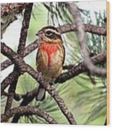 Rose-breasted Grosbeak On Pine Tree Wood Print