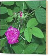 Rose Bud Wood Print by Michael Sokalski