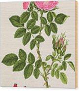 Rose Eglanteria Wood Print