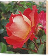 Rose Garden Red Square-3 Wood Print by Janice Sakry