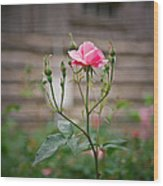 Rose Of Independence Wood Print