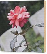 Rose On The Airborne War Cemetery Oosterbeek Netherlands Wood Print