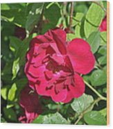 Rose On The Vine Wood Print