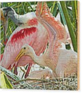 Roseate Spoonbill Adult And Nestlings Wood Print by Millard H. Sharp