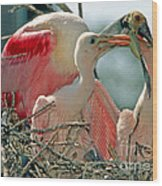 Roseate Spoonbill Feeding Young At Nest Wood Print